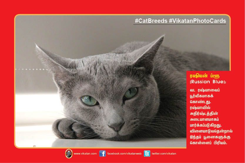 Frequently Asked Questions About Russian Blue Cats Is the Russian Blue affectionate Yes youll find the Russian Blue to