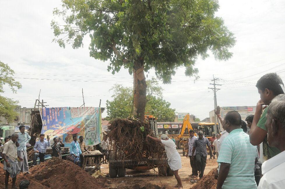 40 மரங்களை வேரோடு இடம் மாற்றும் திண்டி மா வனம் அமைப்பு!