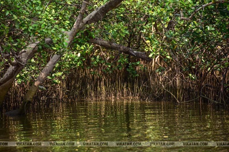 பிச்சாவரம் - சதுப்புநில காடுகளில்  உல்லாச படகு பயணம்..!! படங்கள் : சி.சுரேஷ்குமார்