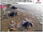 கடலில் விடப்படும் ஆமைக்குஞ்சுகள்... பரபரப்பாகத் தயாராகும் கட்சிக்கொடிகள்... #NewsInPhotos