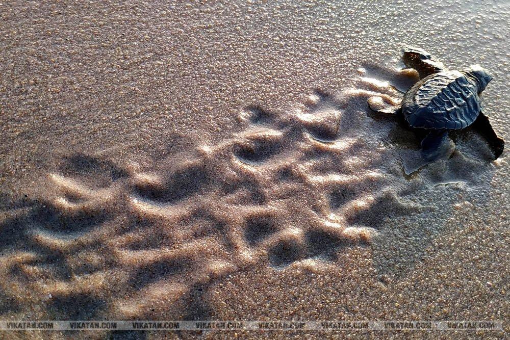 விழுப்புரம், கோனேரிக்குப்பம் பகுதிகளில் ஆமை முட்டைகள் பாதுகாக்கப்பட்டு குஞ்சு பொரித்தவுடன் கடலில் விடப்படும் நிகழ்வு