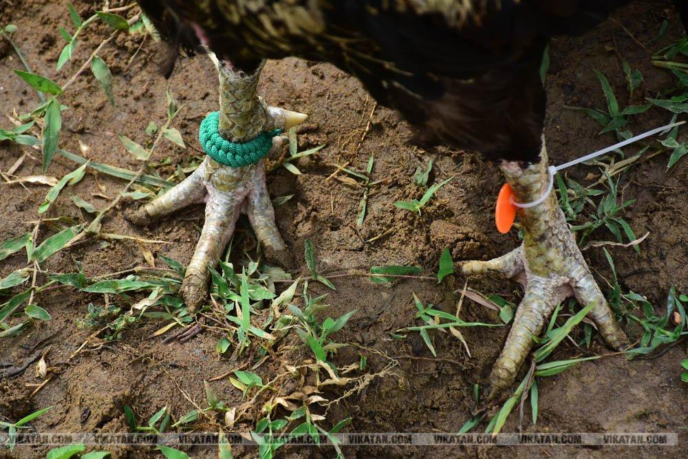 கிளிமூக்கு ,விசிறிவால், மயில்வால் சேவல்கள்: தஞ்சையில் களைகட்டிய சேவல் கண்காட்சி