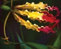 காந்தள் மலர்கள் - கவிதை