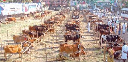 RTI அம்பலம் வீணாகப் போனதா விலையில்லா கால்நடைகள் - 4 % பேர்கூட பயன்பெறவில்லை