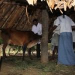 திண்டிவனம் அருகே கால்நடைகளுக்கு ஆந்த்ராக்ஸ் நோய்: அதிகாரிகள் ஆய்வு!
