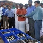 ராமநாதபுரத்தில் கூண்டு மீன்கள் அறுவடை!