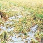 நெல்லையில் ஆயிரக்கணக்கான ஏக்கர் நெற்பயிர் நீரில் மூழ்கியது: கண்ணீரில் விவசாயிகள்!