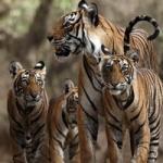 இந்தியாவில் புலிகளின் எண்ணிக்கை 30 சதவீதம் அதிகரிப்பு!