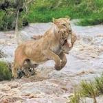 குஜராத் வெள்ளத்தில் குட்டியை காப்பாற்ற போராடிய சிங்கம்!