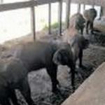 மைசூரில் 5 யானைகளை அனாதைகளாக விட்டுவிட்டு ஓடிய சர்க்கஸ் நிறுவனம்!