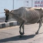 தோனி உள்ளிட்ட ஹீரோக்களை வீழ்த்திய 'சூப்பர் ஹீரோ' பசு!