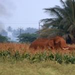 கோவை அருகே விளை நிலத்தில் புகுந்த காட்டு யானை