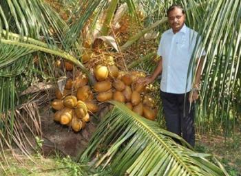 Thirupur farmer produce 300 coconuts per year