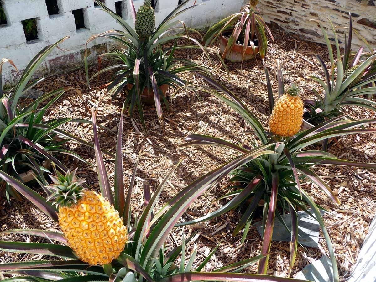 அண்ணாசி பழங்கள், pineapples from the lost gardens of heligan