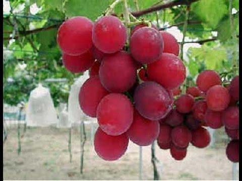 ரூபி ரோமன் திராடை பழங்கள், Ruby roman Grapes