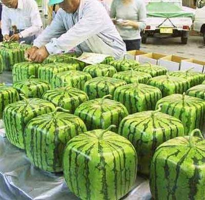 கட்ட தர்பூசனி பழங்கள், Square watermelon