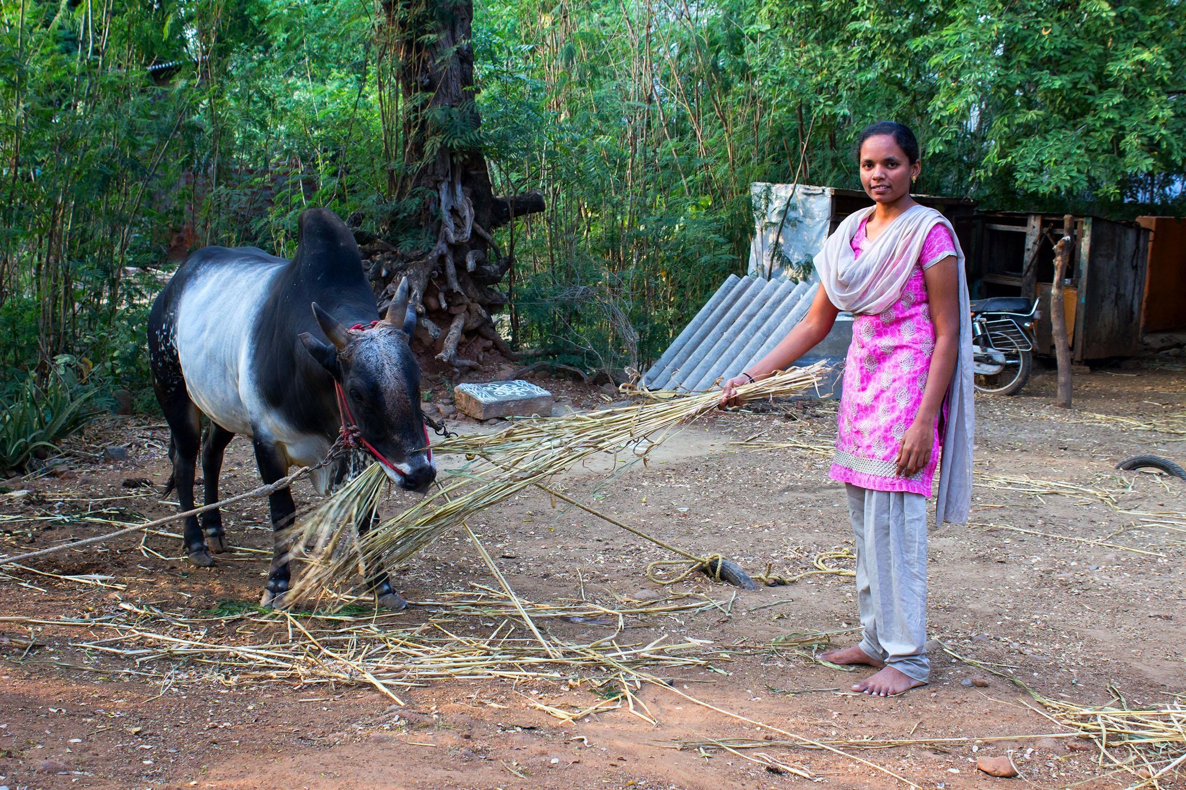 மேனகா காந்தி தன் காளை மாட்டுடன்