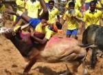 தமிழரின் பாரம்பர்யம் ஜல்லிக்கட்டு - சண்டியர் ஆவேசம்!