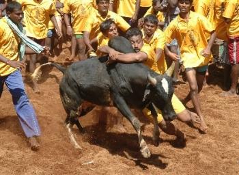 Bulls and beliefs of bulls worship