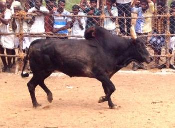 ஜல்லிக்கட்டில் காளைகளை விட மாட்டோம் - காளை வளர்ப்போர் சங்கம்