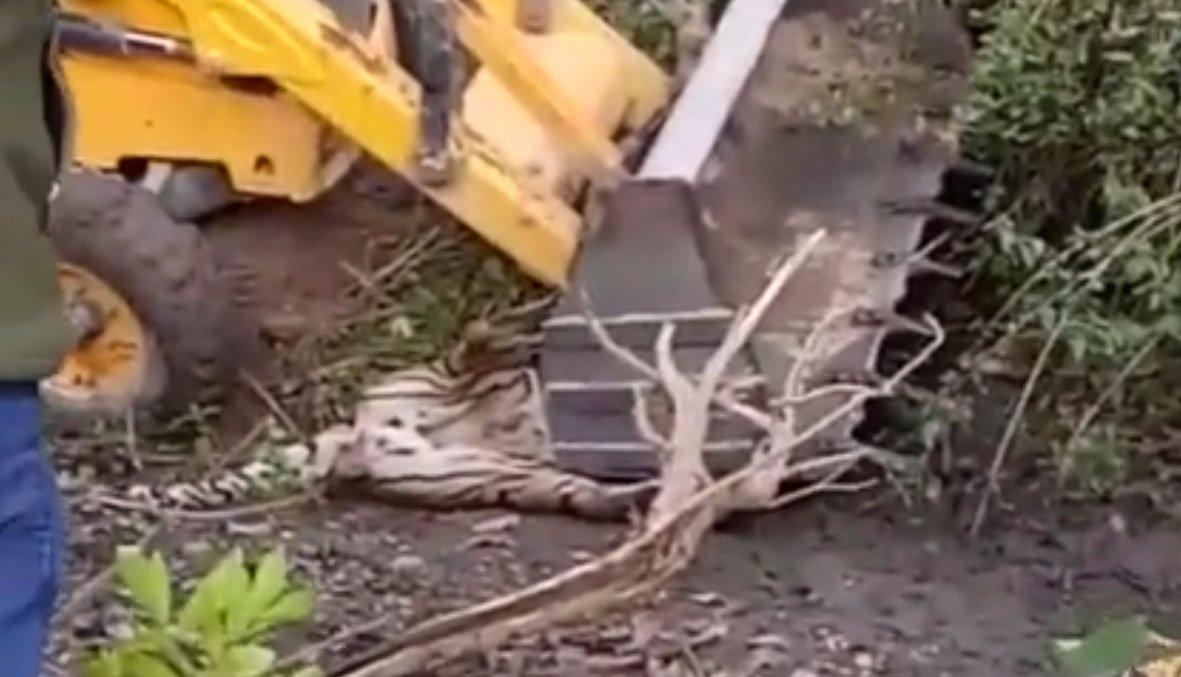 Indian Forest Department Killed Tiger with bulldozer