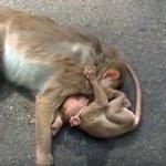 இறந்துபோன தாயைக் கட்டியணைத்து அழுத குட்டிக் குரங்கு..! நெகிழ்ச்சி வீடியோ #ViralVideo