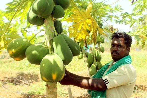 பாரம்பர்யம் முறையில் விளைந்த பப்பாளித் தோட்டத்தில் நடராஜன்