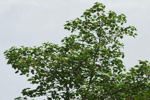 Portia leaves