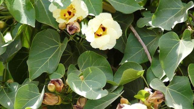பூவரச மரம்