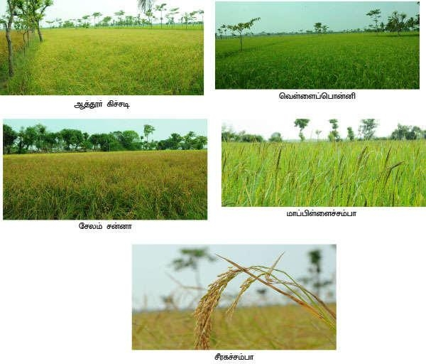 These traditional varieties yield more and more