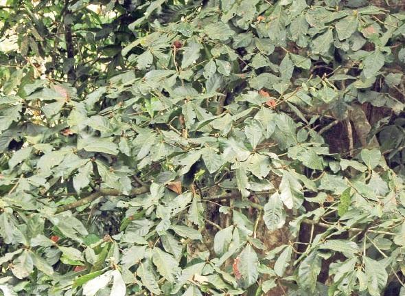 ருத்திராட்சம்