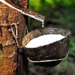 கன்னியாகுமரியில் ரப்பர் பால்வடிப்புத் தொழில் வேகம் எடுத்துள்ளது!
