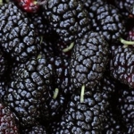 Mulberry and its Arresting Taste and Amazing Medicinal Uses