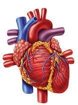 organs - heart