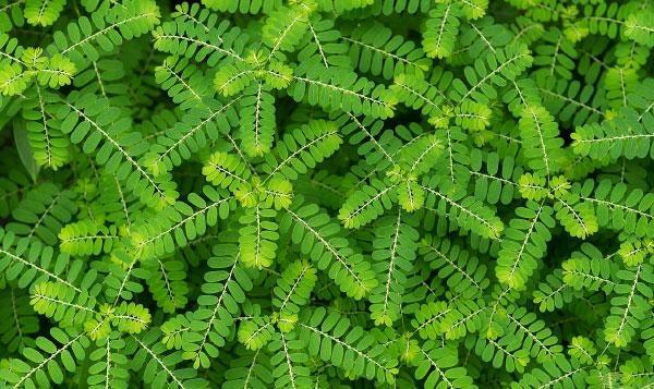 Keelanelli Herbal Health Benefits