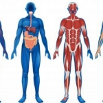 Strengthening of internal organs, from brain to intestine!