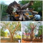 வேரோடு பெயர்த்து வேறு இடத்தில் நடப்பட்ட 50 வயது அரச மரம்..!