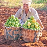 Guava aplenty in 10 acres with an income of 30 lakhs..!