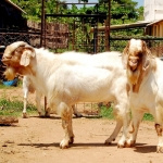50 lakhs within 4 years through Thalachery, Sirohi and Boer goats..!
