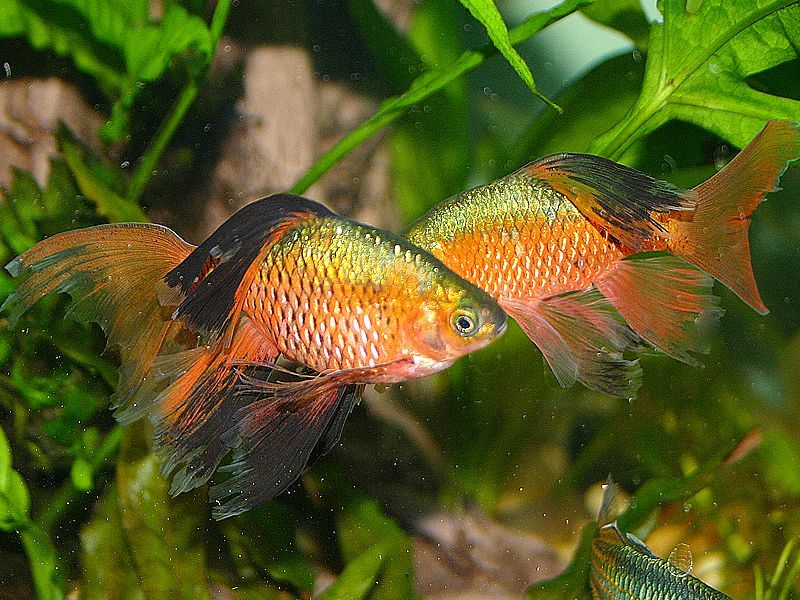 transgender fish