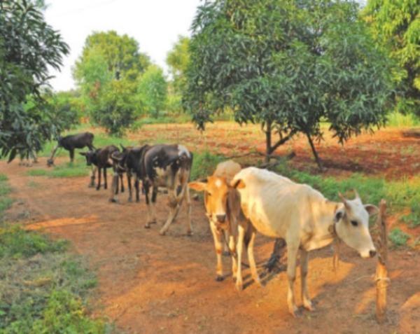 Cattles in nagarathina naidu farm