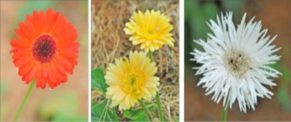 Flowers in nagarathina naidu farm