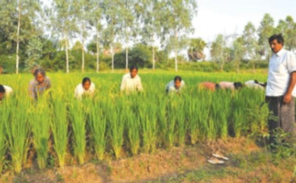 Paddy cultivation techniques of Nagarathina Naidu