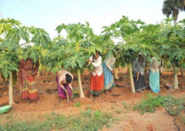 Papaya by seedling method