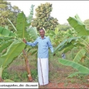 Bountiful organic banana... A Professor's post-retirement agri-venture!