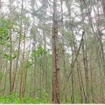 5 acres... 4 years... 9 Lakhs... Profit-yielding Casuarina Trees!