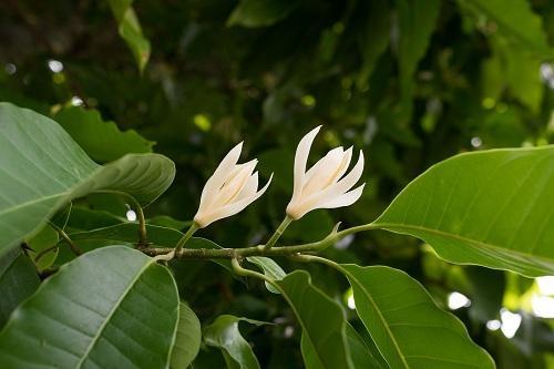 செண்பக மரம்