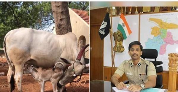 கன்று ஈன்ற கமிஷனர் வீட்டு காங்கயம் பசு