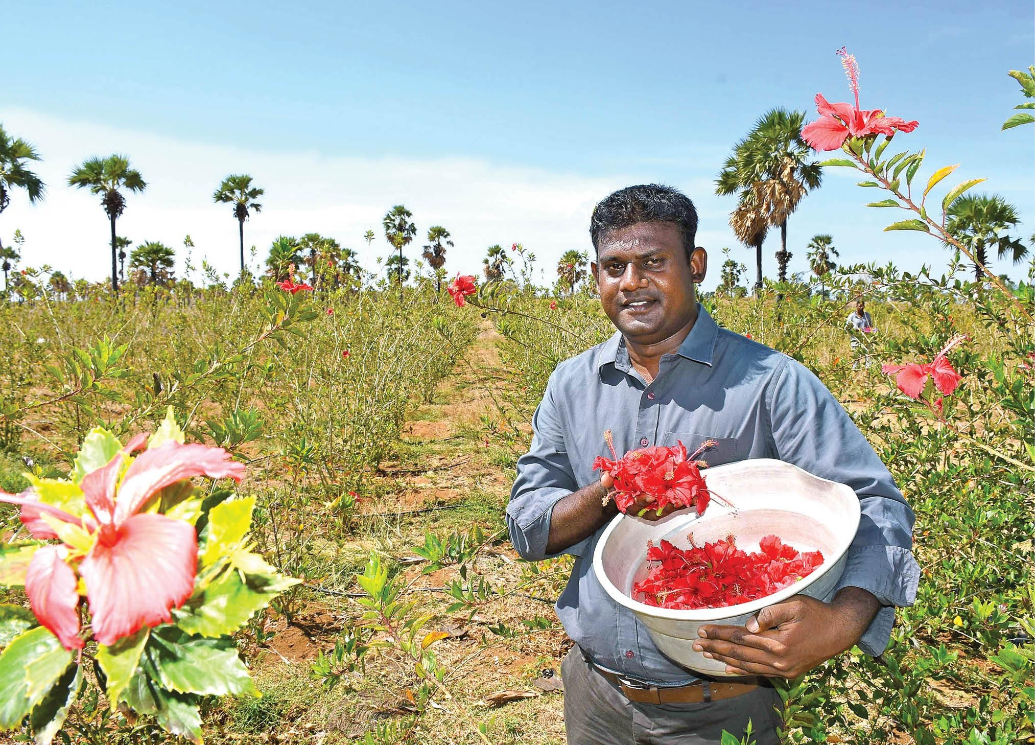 High yielding hibiscus 380400 yearly profit per acre flower cultivation is a prime source of daily assured income for farmers flowers are widely used in decoration pooja and medicines also hibiscus is one izmirmasajfo