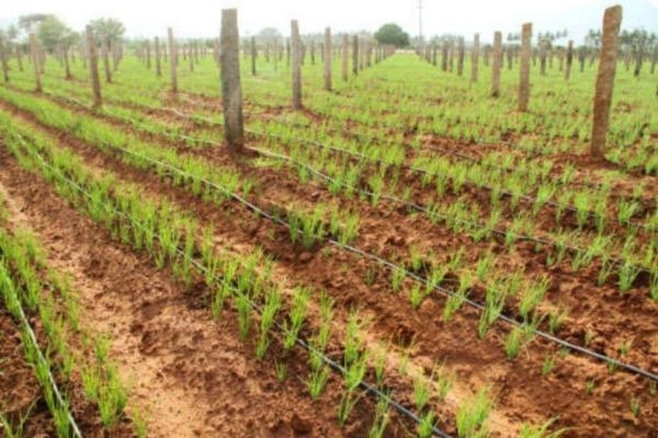 small onion cultivation